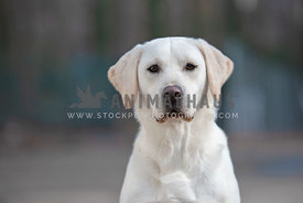 close up head shot of pure bred yellow labrador retriever