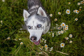 Smiling husky with flowers