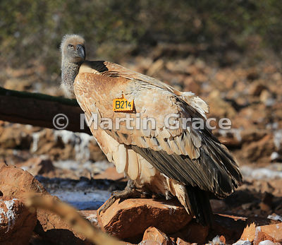 Cape Griffon Vulture (Kolbe's Vulture) (Gyps coprotheres) with identification wing tag, North West Province, Republic of Sout...