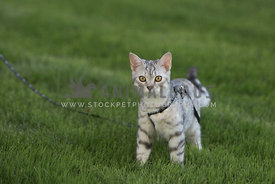 cat outside on grass with harness