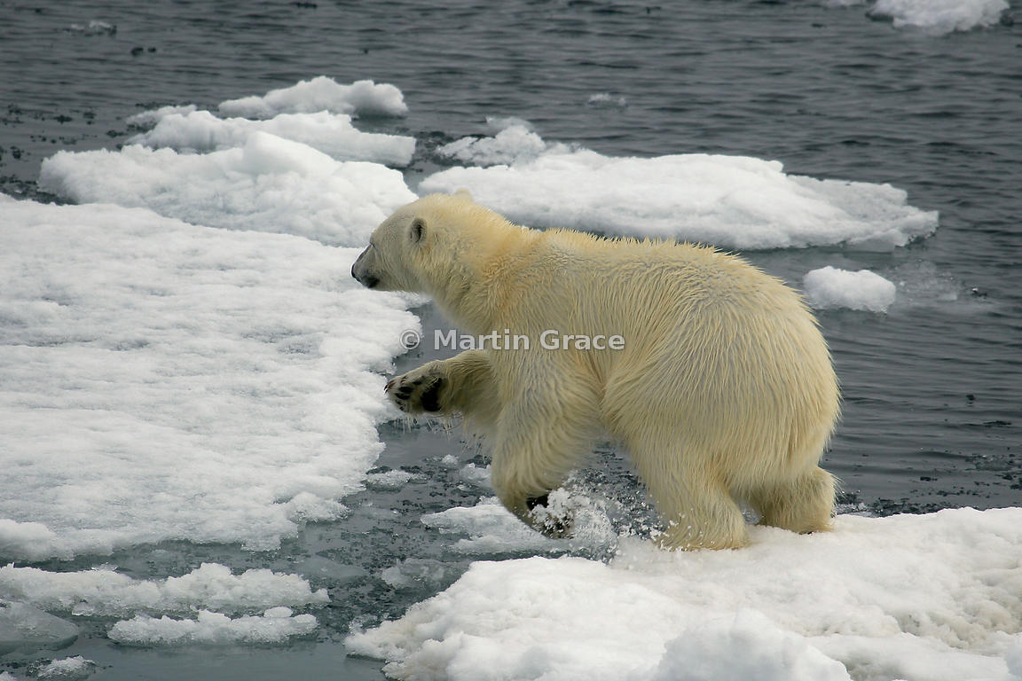 Polar Bear (Ursus maritimus) jumping from one ice floe to another