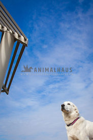 dog staring away with blue sky