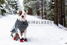 brindle pitbull terrier wearing coat in the snow