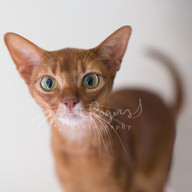 Close-up of Abyssinian Cat with Green Eyes
