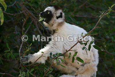 Verreaux's Sifaka (White Sifaka) (Propithecus verreauxi) eating leaves, Berenty Reserve, Madagascar