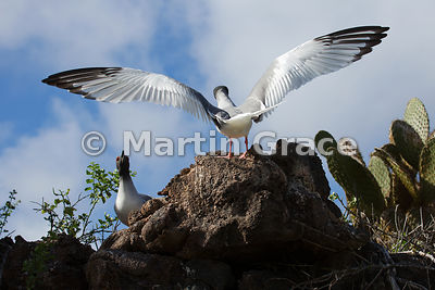 Swallow-Tailed Gull (Larus furcatus) from behind, landing with wings outspread, Darwin Beach, Genovesa, Galapagos Islands