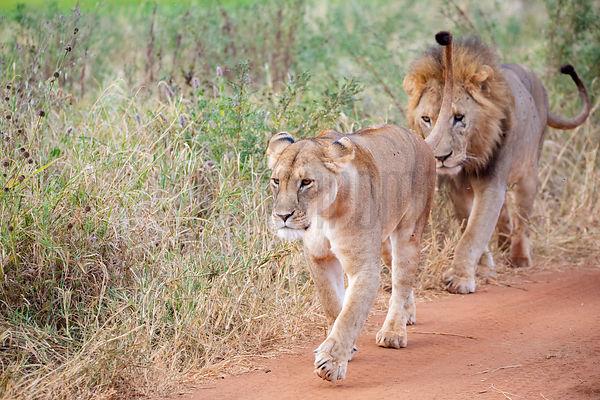 A Male Lion Follows a Female in Oestrus