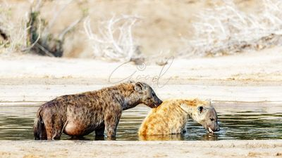 African Spotted Hyenas Bathing