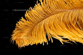 Detail of yellow Carnival fantasy feather Isolated on black