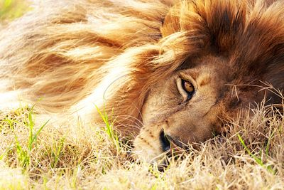 African Lion Closeup Lying in Grass