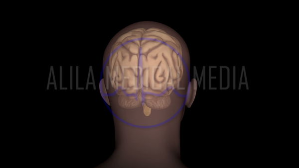 Brain gross anatomy 3D animation