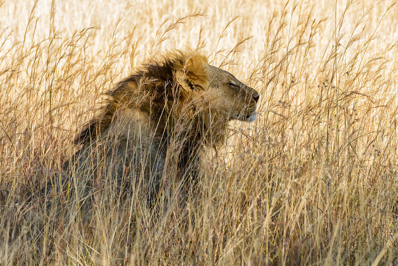 Male Lion in Long Grasses