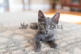 gray kitten lying down looking at the viewer