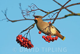 Waxwing Bombycilla garrulus feeding on ornamental Rowan berries in garden Penrith Cumbria December
