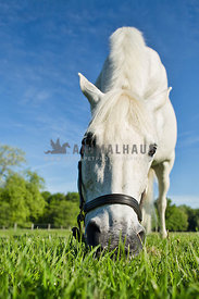 wide angle of white horse grazing in pasture with blue sky