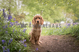 Golden working cocker spaniel amongst bluebells and trees