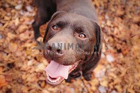 chocolate labrador retriever on fall leaves smiling up at camera