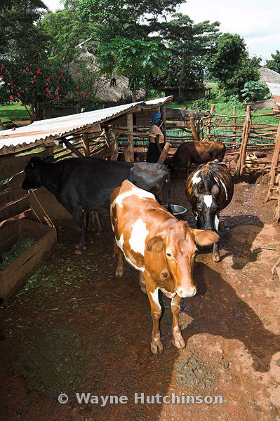 Cows inside basic pen and shelter, Busia, Kenya Africa