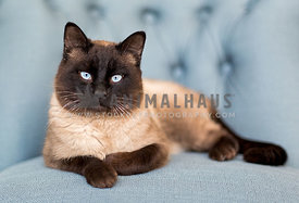 Siamese cat on blue chair