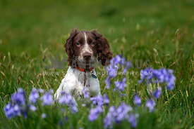 Show cocker spaniel puppy in the blue bells