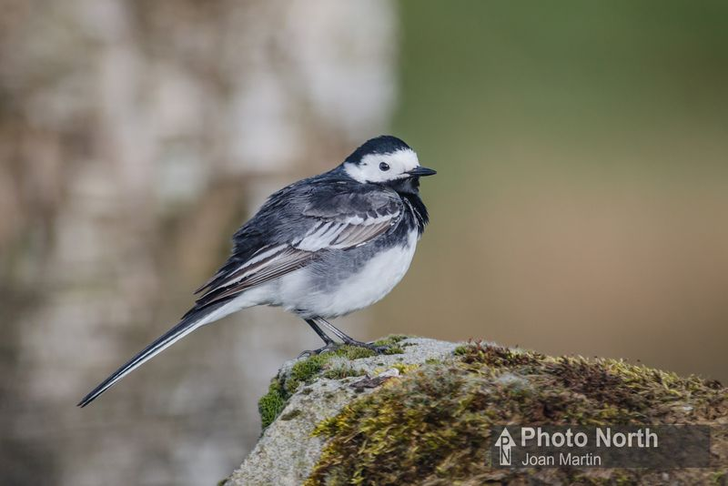 WAGTAIL 00A  Pied wagtail