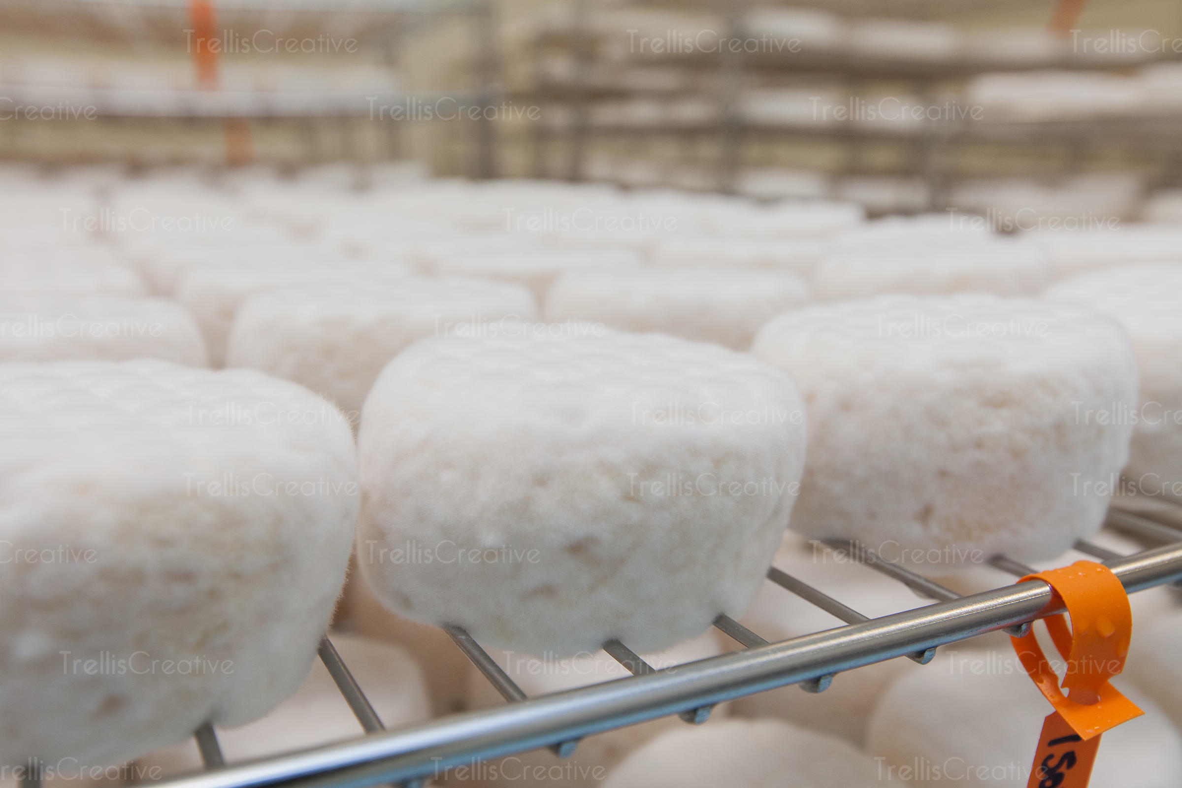 Ageing white round soft cheese on rack