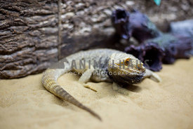 bearded dragon reptile with black throat