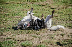 A goofy Border Collie mix rolls around on his back on the grass