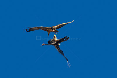 Lammergeier vulture (Gypaetus barbatus), aerial fight between two juveniles, Lerida province, Spain