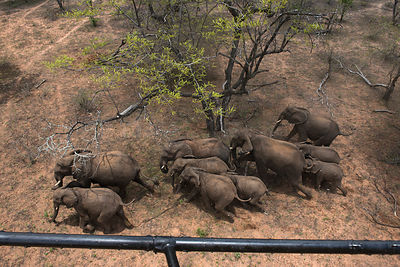 Aerial view from helicopter of Elephant (Loxodonta africana) herd. The Elephants were about to be darted for relocation to th...