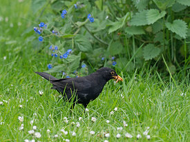 Blackbird Turdus merula male collecting food for young Holt Norfolk spring