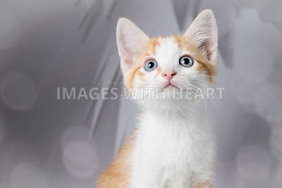 curious orange and white tabby kitten looking up