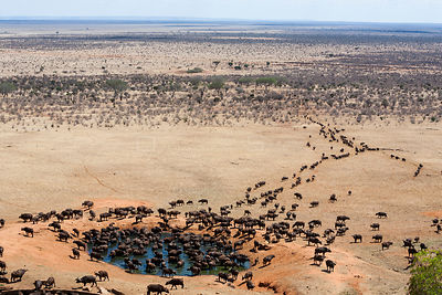 African buffalo (Syncerus caffer) herd at watering hole in dry season, Tsavo East National Park, Kenya, October.