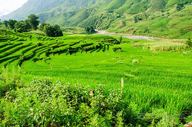 Lush Green Terraced Rice Paddies in Early Summer