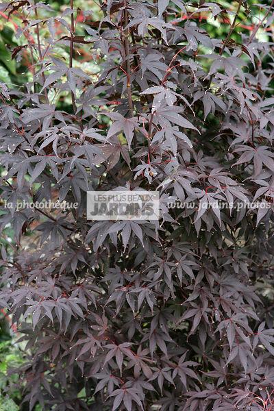 La Photothèque Les Plus Beaux Jardins Acer Palmatum Margaret