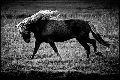 La belle allure, Cheval sauvage d'Islande 2015 © Laurent Baheux