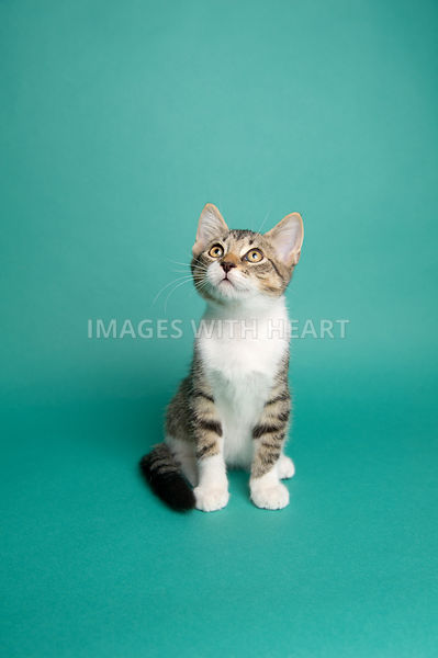 Tabby and white kitten sitting on teal background