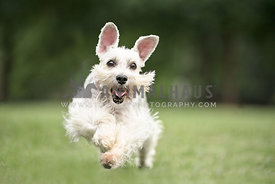 schnoodle running through the grass