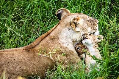 Affectionate Lioness With Playful Baby Cubs
