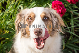 red merle Australian Shepherd dog sitting in flowers licking face