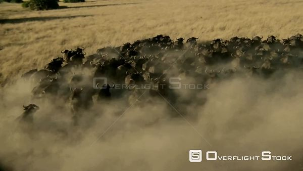 Aerial long shot large herd of buffalo running across brown grassy plain at sunset sunrise creating lots of dust Zimbabwe