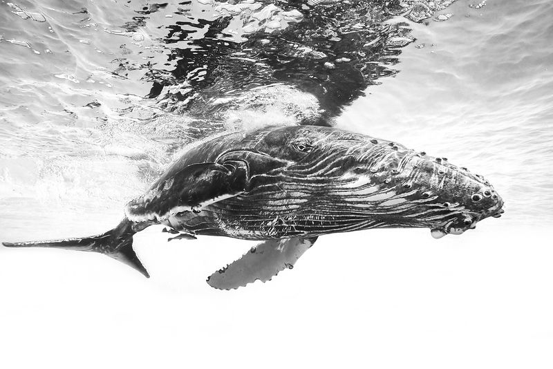 Black and white underwater photography of a whale