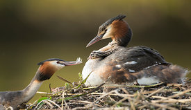 Great Crested Grebes Feather Feeding, Yorkshire
