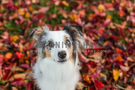 Aussie at park in fall