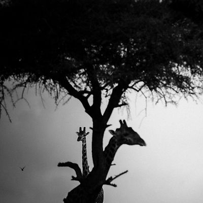 1464-Giraffes_tree_Kenya_2006_Laurent_Baheux.jpg