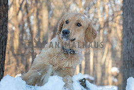 Surprised young golden retriever dog leans up against a snow covered log in a snow covered forest