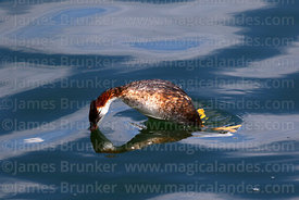 Titicaca flightless grebe (Rollandia microptera) about to dive underwater