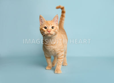 orange tabby kitten on light blue background