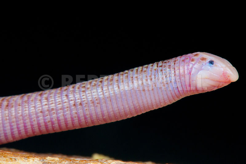 Worm lizard (Diplometopon zarudnyi)