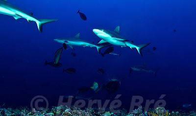 Grey sharks in Tuamotu atolls